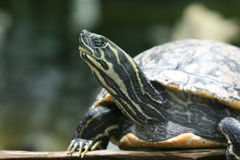 Tortue peinte Images stock