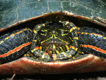 Tortue peinte (picta de Chrysemys) Photo libre de droits