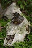 Tortue peinte (picta de Chrysemys) placé sur le crâne de cerfs communs Images libres de droits