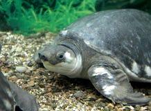 tortue Porc-flairée Images stock