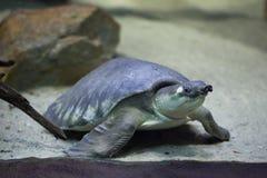 tortue Porc-flairée (insculpta de Carettochelys) Photos stock