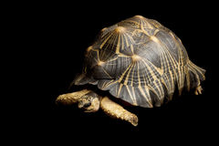 tortue rayonnée images stock