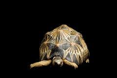 tortue rayonnée photos stock