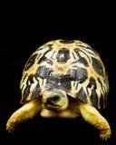 tortue rayonnée photo stock