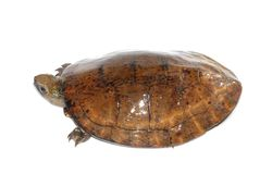 tortue repérée de l'oeil quatre images stock