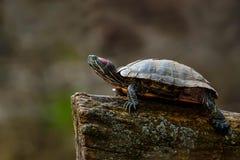 tortue Rouge-à oreilles de glisseur photographie stock libre de droits