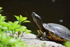 tortue Rouge-à oreilles de glisseur Image libre de droits