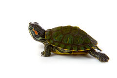 Tortue rouge d'oreille Images stock