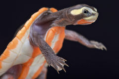 tortue Rouge-gonflée de Shortneck (subglobosa d'Emydura) Photographie stock