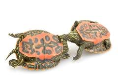 tortue rouge nordique gonflée Image libre de droits