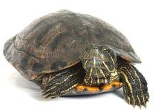 tortue Rouge-à oreilles d'isolement sur le fond blanc. Photographie stock