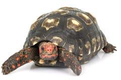 tortue rouge principale aux pieds de cerise Photographie stock