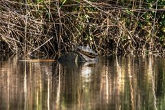 Tortue sauvage au soleil en rivière images stock