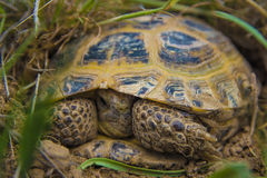 Tortue sauvage en steppe dans Kazakhstan, Malaysary Photographie stock