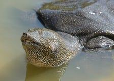 Tortue Soft-shelled du Nil (triunguis de Trionyx) Image libre de droits