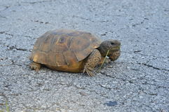 Tortue solide Photo stock