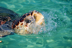 Tortue sortant de l'eau Photo libre de droits