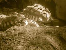 Tortue stimulée africaine (sulcata de Centrochelys), également connue sous le nom de t Photographie stock libre de droits