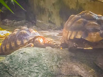 Tortue stimulée africaine (sulcata de Centrochelys), également connue sous le nom de t Photo libre de droits