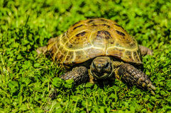 Tortue sur l'herbe Photographie stock
