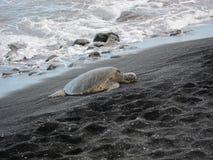 Tortue sur la plage noire de sable Photo libre de droits
