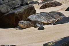 Tortue sur la plage Oahu Hawaï de Laniakea Photographie stock