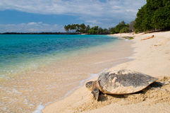 Tortue sur la plage tropicale Photos libres de droits