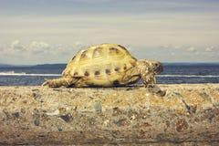 Tortue sur la promenade de mer Photo stock