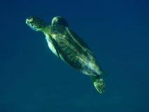 Tortue sur le fond de la mer Photographie stock