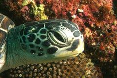 Tortue sur le récif Images libres de droits
