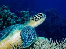 Tortue sur le récif coralien Images libres de droits