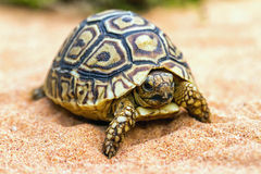 Tortue sur le sable (hermanni de Testudo) Photo stock