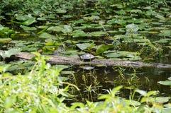 Tortue sur un tronçon dans l'étang de lis Photo libre de droits