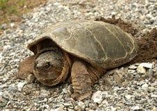 tortue étant enclenchée commune, serpentina du chelydra S. Image libre de droits