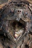 Tortue étant enclenchée d'alligator Images libres de droits