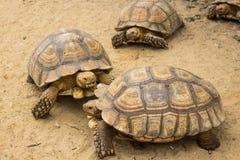 Tortue, tortue de Sulcata, zoo de la Thaïlande Image libre de droits