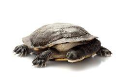tortue étranglée est de serpent Photos libres de droits