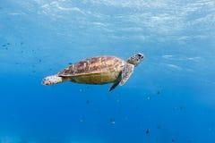 Tortue verte, île d'Apo, Philippines image libre de droits