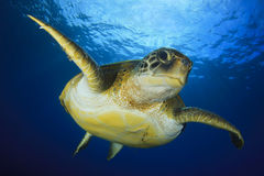Tortue verte photo libre de droits