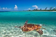 Tortue verte dans le paysage de mer des Caraïbes Photo libre de droits