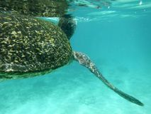 Tortue verte de Galapagos Images stock