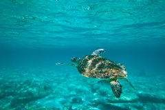Tortue verte en nature Photo libre de droits