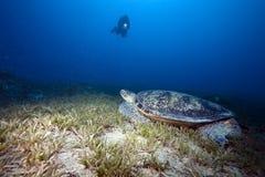 Tortue verte, herbe de mer et plongeur Photographie stock libre de droits