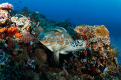 Tortue verte (mydas de Chelonia) en récif tropical photo libre de droits