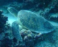 Tortue verte, récif de Chambre, Kurumathi Maldives Photo stock