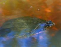 Tortue verte respirant sur la surface Photographie stock