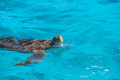Tortue verte sur la surface de mer photos libres de droits