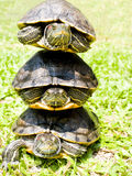 tortues Image stock