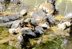 tortues Images libres de droits