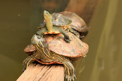 tortues Images stock